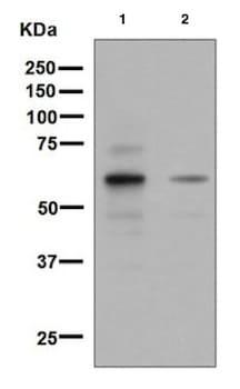 Western blot - Anti-SIM2 antibody [EPR7878] (ab131161)