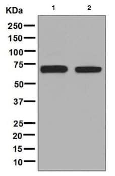 Western blot - Anti-AKT2 antibody [EP1676] (ab131168)