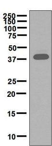Western blot - Anti-Ceramide synthase 1/LAG1 antibody [EPR5816(2)] (ab131169)