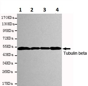 Western blot - Anti-beta Tubulin antibody [1E1-E8-H4] - Microtubule Marker (ab131205)