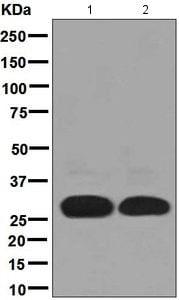 Western blot - Anti-DAPP1 antibody [EPR4993(2)] (ab131212)