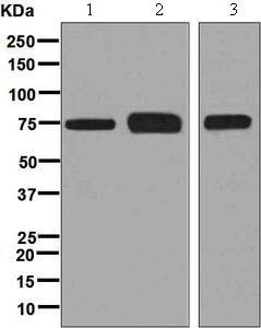 Western blot - Anti-TUG antibody [EPR8616] (ab131217)
