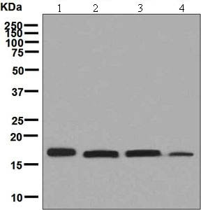 Western blot - Anti-PDRG1 antibody [EPR6062(2)] (ab131219)