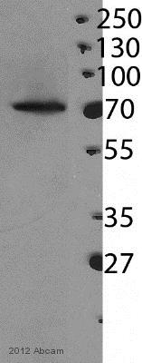 Western blot - Anti-CPSF73 antibody [EPR7468] (ab131245)
