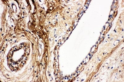 Immunohistochemistry (Formalin/PFA-fixed paraffin-embedded sections) - Anti-Protein C antibody (ab131251)