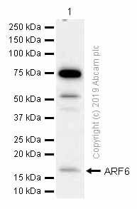 Western blot - Anti-ARF6 antibody [EPR8357] (ab131261)
