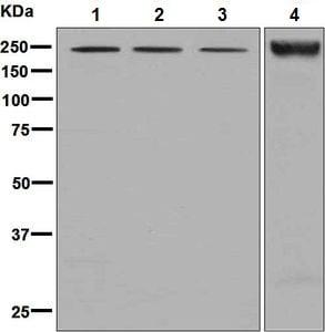 Western blot - Anti-Nidogen 2/NID-2 antibody [EPR8697] (ab131279)