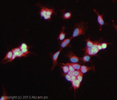 Immunocytochemistry/ Immunofluorescence - Anti-MLIP antibody (ab131324)
