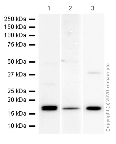 Western blot - Anti-NME2 antibody [EPR8351] (ab131329)