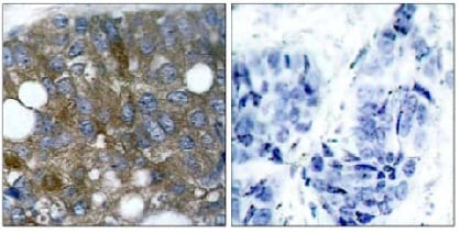 Immunohistochemistry (Formalin/PFA-fixed paraffin-embedded sections) - Anti-Hsp27 (phospho S15) antibody (ab131340)