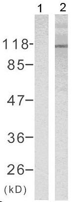Western blot - Anti-Rb (phospho S795) antibody (ab131347)