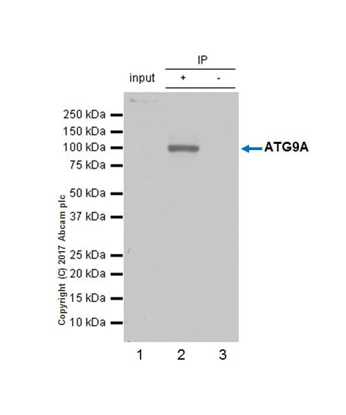 Immunoprecipitation - VeriBlot for IP Detection Reagent (HRP) (ab131366)