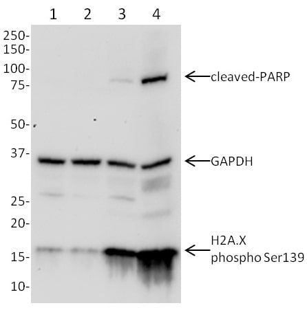 Western blot - Anti-GAPDH + H2A.X(S139) + cleaved PARP1 antibody (ab131385)