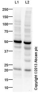 Western blot - Anti-FNDC5 antibody (ab131390)
