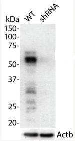 Western blot - Anti-p53 antibody (ab131442)