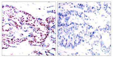 Immunohistochemistry (Formalin/PFA-fixed paraffin-embedded sections) - Anti-ATF2 antibody (ab131463)