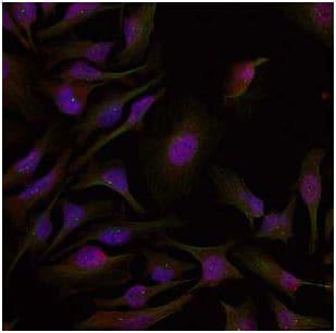 Immunocytochemistry/ Immunofluorescence - Anti-ATF2 antibody (ab131463)