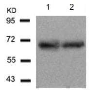 Western blot - Anti-ATF2 antibody (ab131463)