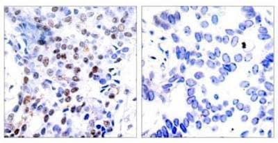 Immunohistochemistry (Formalin/PFA-fixed paraffin-embedded sections) - Anti-c-Jun antibody (ab131497)