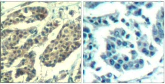 Immunohistochemistry (Formalin/PFA-fixed paraffin-embedded sections) - Anti-Cyclin B1 (phospho S147) antibody (ab131502)