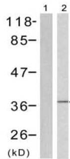 Western blot - Anti-EIF2S1 (phospho S51) antibody (ab131505)
