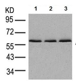 Western blot - Anti-AMPK alpha 1 + AMPK alpha 2 antibody (ab131512)