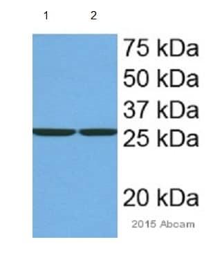 Western blot - Anti-mtTFA antibody - Mitochondrial Marker (ab131607)