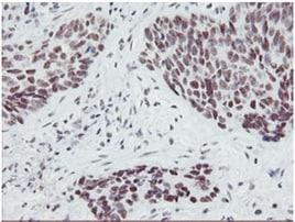 Immunohistochemistry (Formalin/PFA-fixed paraffin-embedded sections) - Anti-SENP2 antibody [OTI1H2] (ab131637)