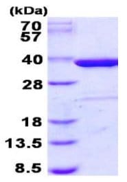 SDS-PAGE - Recombinant Human Syntaxin 4 protein (ab131680)