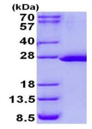 SDS-PAGE - Recombinant Human FTSJ2 protein (ab131684)