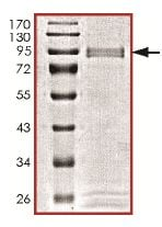 SDS-PAGE - Recombinant Human MAP3K12 protein  (ab131688)