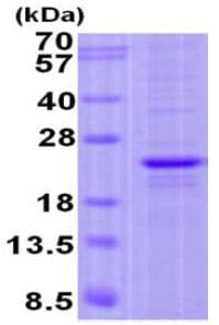 SDS-PAGE - Recombinant Human FOPNL protein (ab131690)