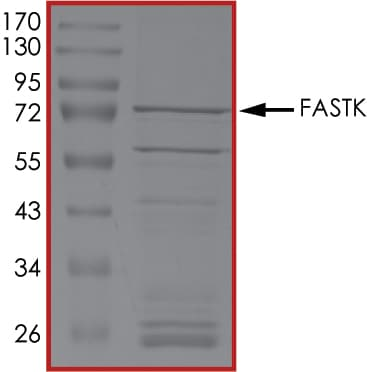 SDS-PAGE - Recombinant human FASTK protein (ab131693)