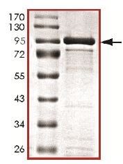 SDS-PAGE - Recombinant human CASK protein (ab131707)