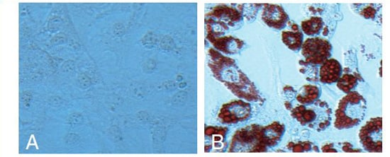 Differentiation of 3T3-L1 pre-adipocytes into adipocytes