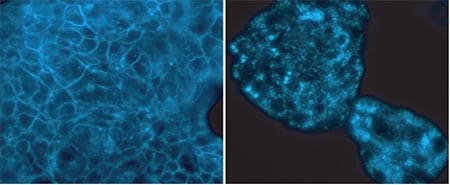Cholesterol Assay Kit (Cell-Based) (ab133116)