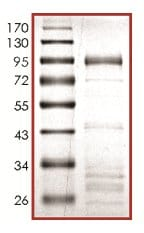 SDS-PAGE - Recombinant human DYRK2 protein (ab133138)