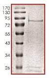 SDS-PAGE - Recombinant human NEK5 protein (ab133140)