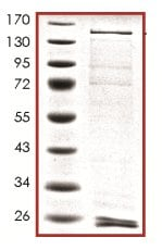 SDS-PAGE - Recombinant human PI 3 Kinase Class 2A/Cpk protein (ab133141)