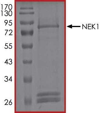 SDS-PAGE - Recombinant human NEK1 protein (ab133146)