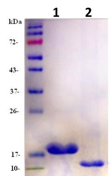 SDS-PAGE - Recombinant Human FNDC5 protein (ab133147)