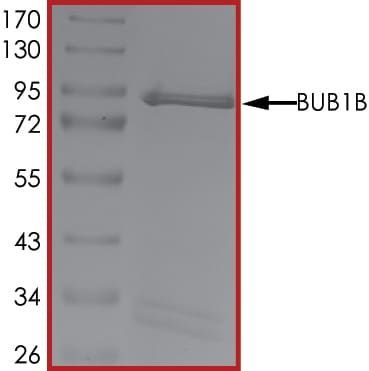 SDS-PAGE - Recombinant human BubR1 protein (ab133149)