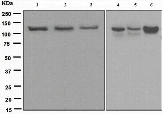Western blot - Anti-Exportin 4/XPO4 antibody [EPR4442(2)] (ab133237)