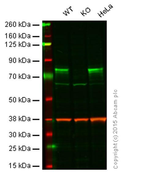 Western blot - Anti-c-Rel antibody [EPR2559(2)] (ab133251)