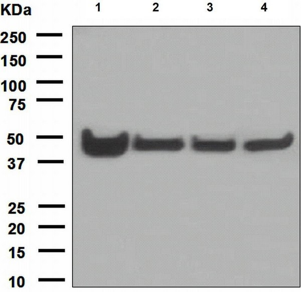 Western blot - Anti-Cytokeratin 18 antibody [EPR1626] (ab133263)