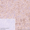 Immunohistochemistry (Formalin/PFA-fixed paraffin-embedded sections) - Anti-Cytokeratin 18 antibody [EPR1626] (ab133263)