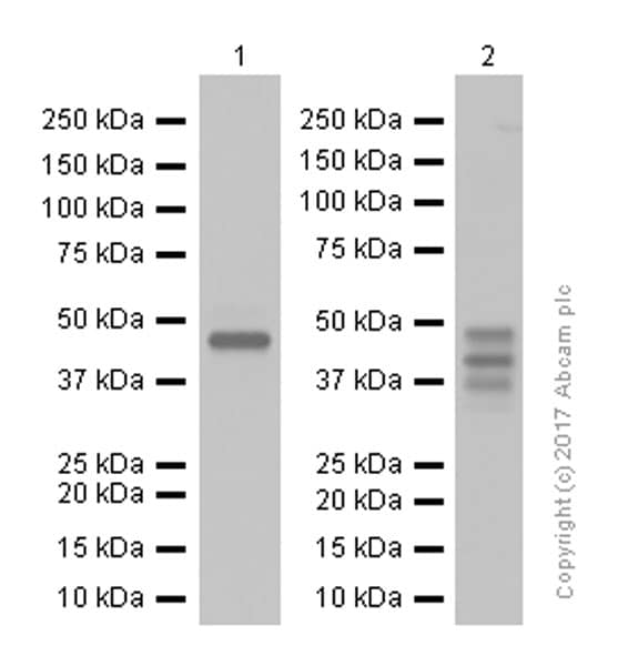 Western blot - Anti-Cyclin E1 antibody [EPR194] (ab133266)