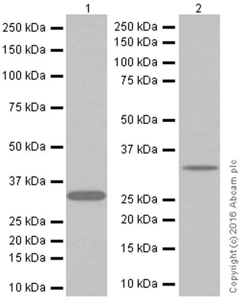 Western blot - Anti-Syntenin antibody [EPR8102] (ab133267)