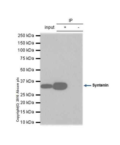 Immunoprecipitation - Anti-Syntenin antibody [EPR8102] (ab133267)