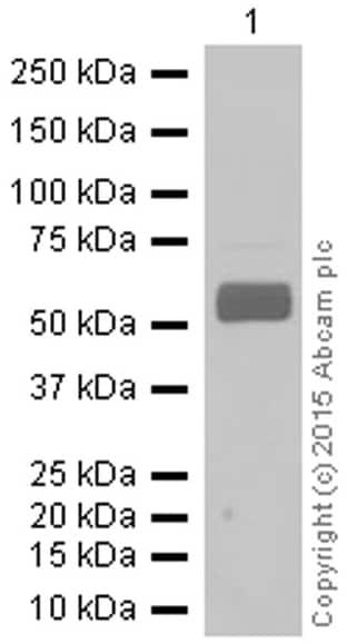 Western blot - Anti-Monoamine Oxidase B/MAOB antibody [EPR7102] (ab133270)